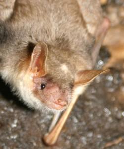 A lovely portrait of a European lesseer mouse-eared bat. Photo by Rodrigo Lopez Sandln.