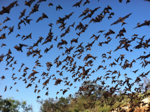 A photograph of Brazilian freetail bats navigating in a crowded space.