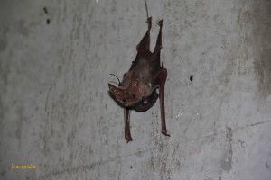 A photograph of a mother and baby lesser louse tailed bat