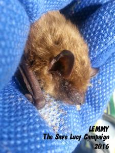 A photograph of Lemmy the bat taken on January 2,2016.