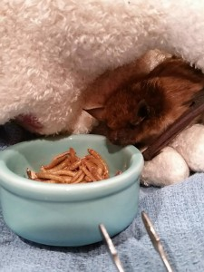 A photogrpah pf a big brown bat rescued in Ithaca, New York.