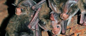 Rafinesques big ear bats can curl their ears back! Courtesy USFWS