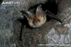 Brown long-eared bat. With thanks to Arkive.org.