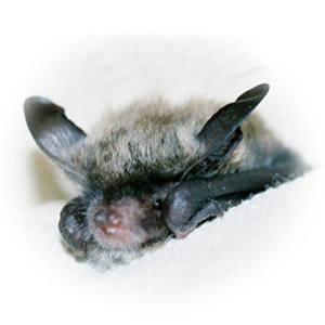 A photograph of a juvenile Myotis raised at Save Lucy.