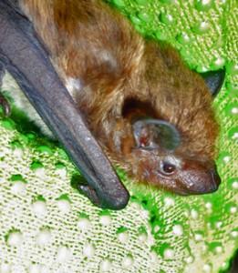 A photograph of an evening bat face