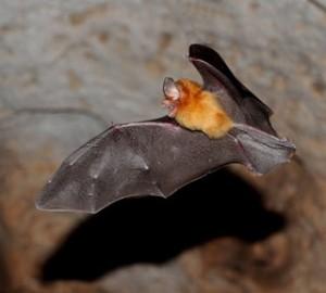 A Hispaniolian funnel eared bat flying in a cave.