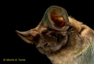 An endangered Florida Bonneted Bat. Amazing photo courtesy of Merlin Tuttle