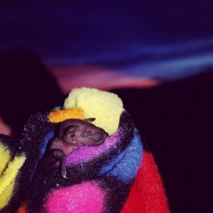 A photograph of a bat pup