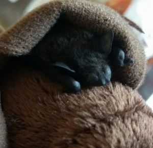 A photograph of evening bat named Shroom wrapped in a stuffed bat momma.