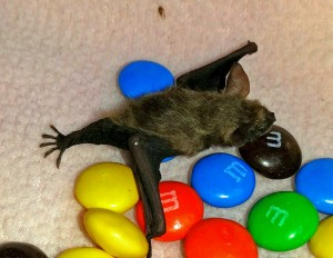 A photograph of a tricolored bat pup named Harold. The photo shows how big his ears and feet are.