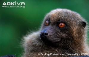 A photograph f a Fijian monkey-faced bat