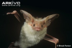 Hemprichs-long-eared-bat-300×199