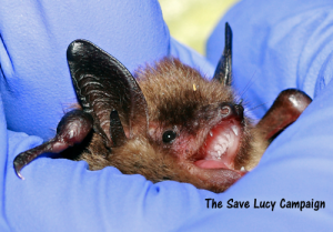 A photograph of a littel brown bat who lives at Save Lucy headquarters.