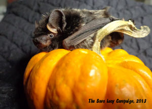 A photograph of a silver-haired bat sitting on a mini pumpkin