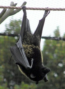 A Livingstone's fruit bat. By Adrian Pingstone