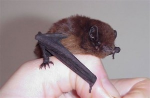 A photograph of a long-tailed bat from New Zealand.