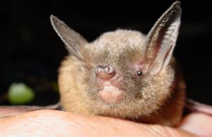 A photograph of a short-tailed bat.