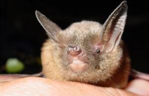 A photograph of a short-tailed bat.