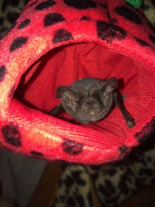 a photo of Freda the freetail bat
