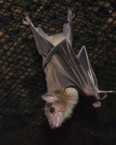 A photograph of an Egyptian fruit bat named PeekABoo, who lives at Bat World Sanctuary.