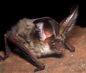 A photograph of a mountain long-eared bat from Crete.