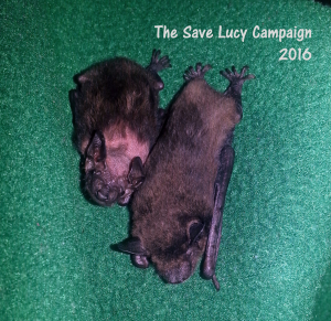 A pohto of Evening bat orphans Wiggles and Shroom nestled together .