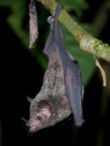 A photo of a long tongued bat from COsta Rica