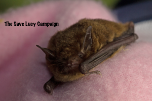 A phtograph of a southeastern myotis from Virginia