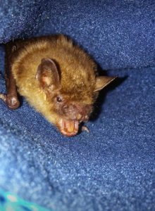 A photo pf a big brown bat in mid chew