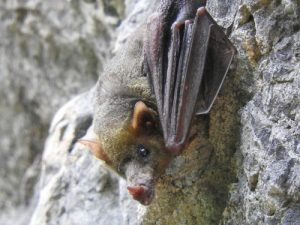 A great photo of a Mexican long-nose bat.