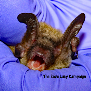 A photograph of a somewhat cranky northern long-ear bat
