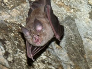 A photograph of a greater horseshoe bat from a US military base in Germany