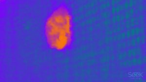A thermal image of a red bat taken at The Save Lucy Campaign
