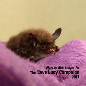 A photograph of a northern long in rehabilitation at the Save Lucy Campaign headquarters.-ear bat