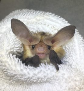 A photograph of an adorable pallid bat in care at the amazing Bat World Sanctuary.