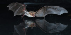 A photograph of a Mexican fishing bat using its feet to capture fish over a pond.