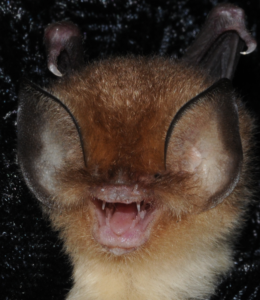 A photo of a Mexican funnel eared bat