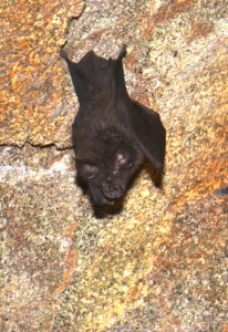 A photograph of a horseshoe bat, on wich some researchers are basing robots
