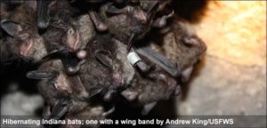 A photograph of Indiana bats clustered together in a cave where they hibernate
