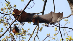 A photograph of a gray headed flying fox stretching its wings.