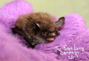 A photograph of the face of a Northern long-eared bat echolocating.