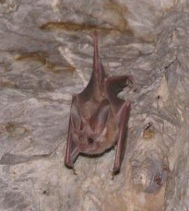 A photo of a California leaf nosed bat hanging on a natural surface. Photo by the National Park Service.