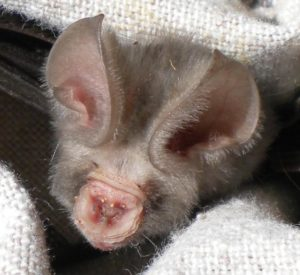 A photograph of the face of a Sundevall's round leaf bat.