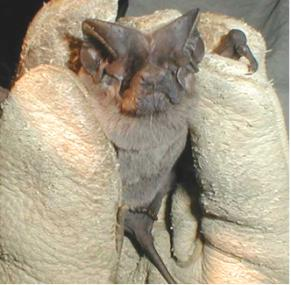A photograph of the face of a pocketed freetail bat. It's tail is also visible.
