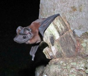 A photograph of a dog faced bat species discovered in Pananma.