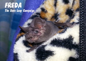 A phtograph of Freda, a freetail bat loking out of her favorite fluffy, leopard spotted pouch.