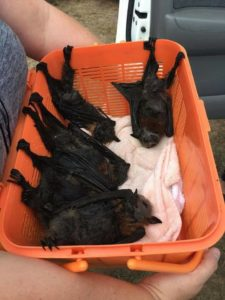 A photograph of baby flying foxes rescued during a fatal heat event. The babies are resting in a basket.