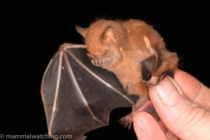 A photo of a grumpy little Cuban Fruit Eating Bat . This photo is from mammalwatching.com, a wonderful blog site about fascinating places and the mammals that live there.
