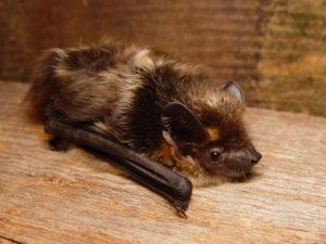 A photograh of a northern bat