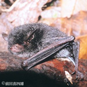 A photograph of a frosted myotis from Kyoto Prefecture, Japan.
